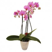 Elegant Orchid (with pot)